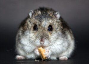 hamster auriu